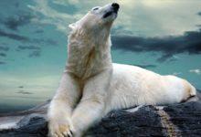 Photo of Niedźwiedź polarny – król północy