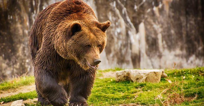 Photo of Niedźwiedź brunatny, czyli Ursus