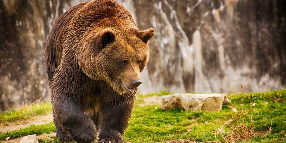Niedźwiedź brunatny, czyli Ursus | DinoAnimals.pl