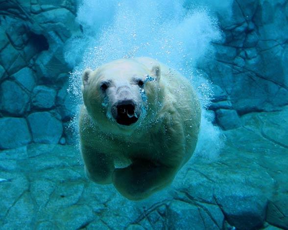 Niedźwiedzie polarne są świetnymi pływakami.