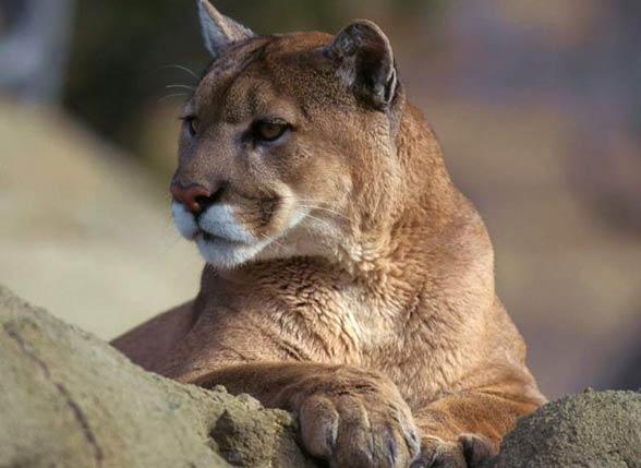 Puma Największy Miauczący Kot Dinoanimalspl