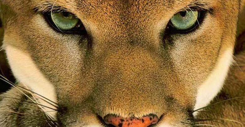 Photo of Puma – największy miauczący kot
