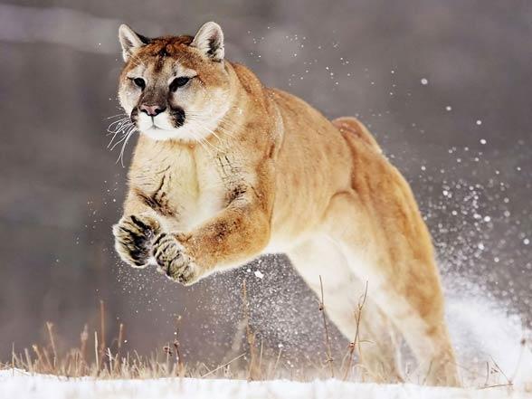 Puma, kuguar, lew górski (Puma concolor).