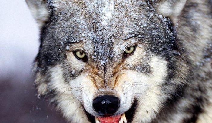 Photo of Wilk – wyjący drapieżca