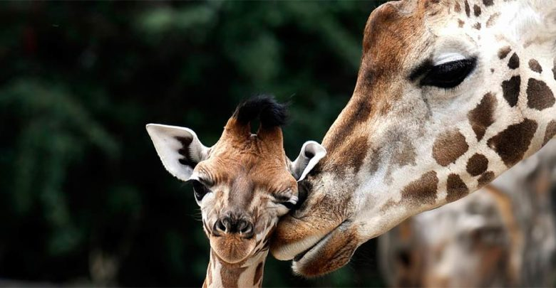 Photo of Żyrafa – najwyższe zwierzę na Ziemi