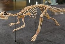 Photo of Najszybsze dinozaury cz. II – Hipsylofodon