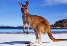 Photo of Kangur – skaczący bokser