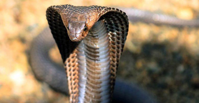 Photo of Kobra królewska – największy jadowity wąż świata