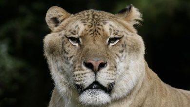 Photo of Legrys, lygrys (Liger) – największy kot na Ziemi