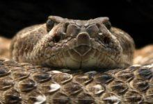 Photo of Grzechotnik – budzący strach wąż.