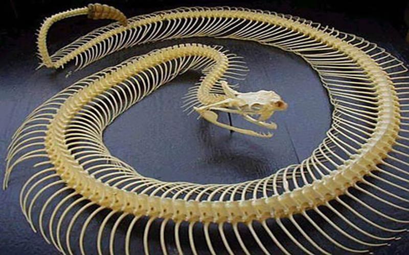 Grzechotnik szkielet