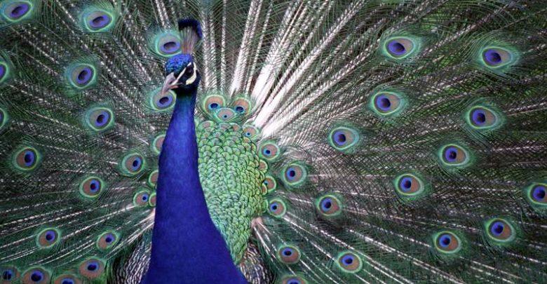 Paw, peacock