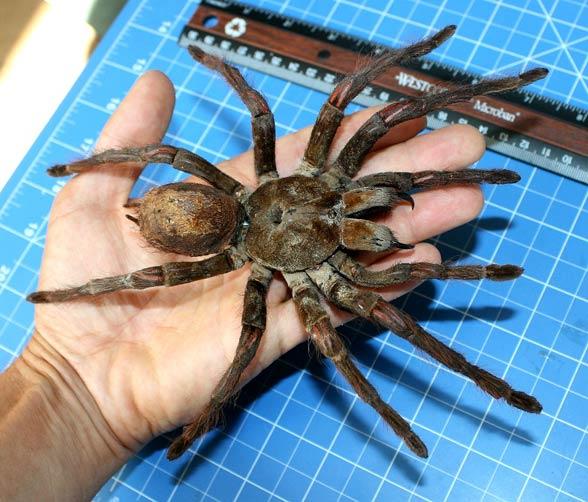 huntsman spindel