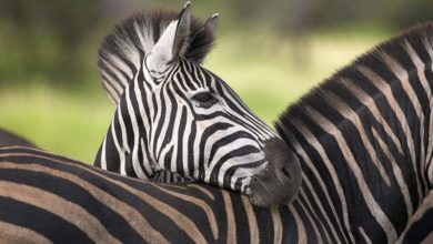 Photo of Zebra – koń w paski?