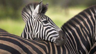 Photo of Zebra – koń w paski?
