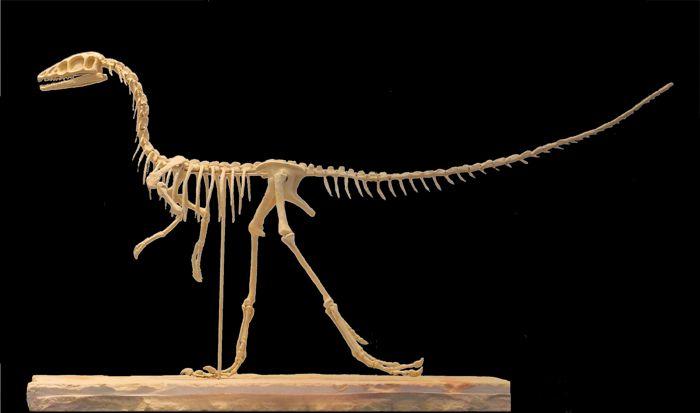Kompsognat Szkielet / Compsognathus skeleton
