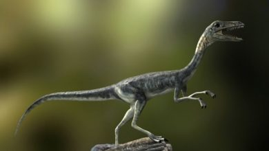 Photo of Najmniejsze dinozaury – Kompsognat (Compsognathus).