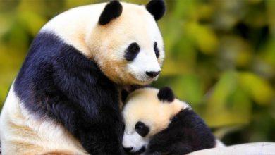 Photo of Panda wielka