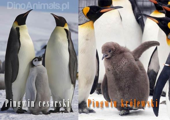 Pingwin cesarski, pingwin krolewski