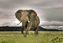 Photo of Najcięższe zwierzęta lądowe na świecie – Top 10