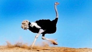 Photo of Struś – największy ptak świata