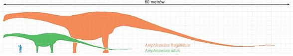Amficelias (Amphicoelias) fragillimus i Amphicoelias altus - porównanie wielkości.