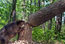 Photo of Bóbr – ziemnowodne zwierzę