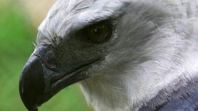 Photo of Harpia wielka – największy ptak drapieżny
