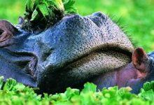 Photo of Hipopotam – rzeczny koń