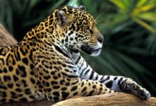 Photo of Jaguar – czarna pantera