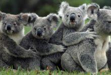 Photo of Koala – torbacz, który nie pije wody