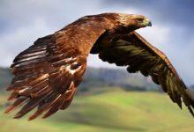 Photo of Orzeł – król ptaków. Orzeł a bielik