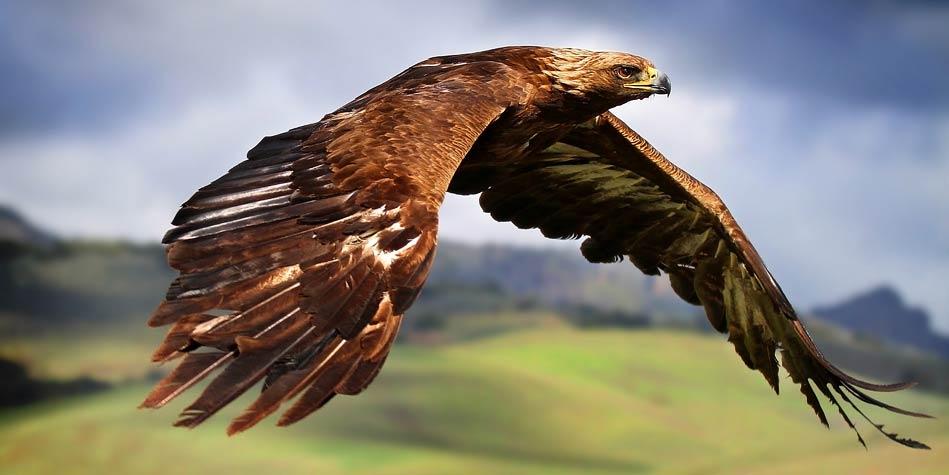 Orzeł Król Ptaków Orzeł A Bielik Dinoanimalspl