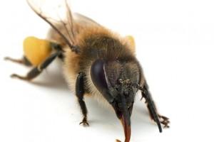 Pszczoły porozumiewają się za pośrednictwem zapachów oraz tańca.