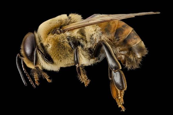 Pszczoły nie atakują ludzi, jeśli nie zostaną  do tego sprowokowane.