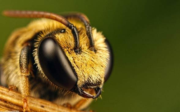 Pszczoła posiada oczy złożone (mozaikowe tzw. oczy fasetkowe).
