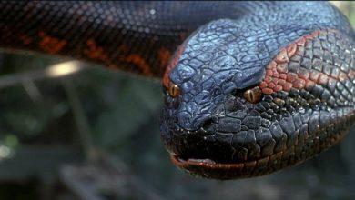 Photo of Anakonda – największy wąż świata?