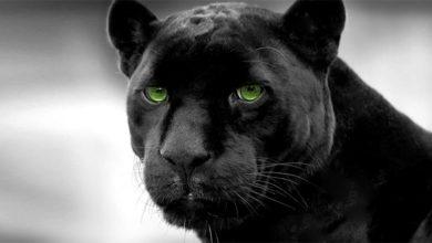 Photo of Czarna pantera – mity i fakty