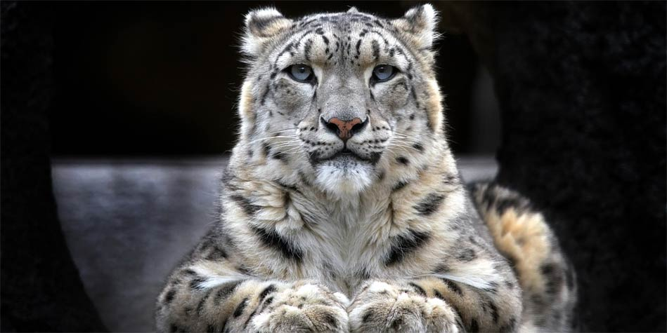 Photo of Irbis – pantera śnieżna