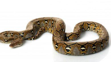 Photo of Pyton siatkowy – najdłuższy wąż świata