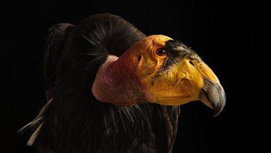 Photo of Kondor – jeden z największych ptaków.