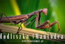 Photo of Modliszka (Mantodea) – mantis