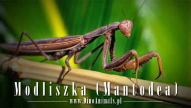 Photo of Modliszka (Mantodea) – mantis