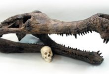 Photo of Sarkozuch (Sarcosuchus)