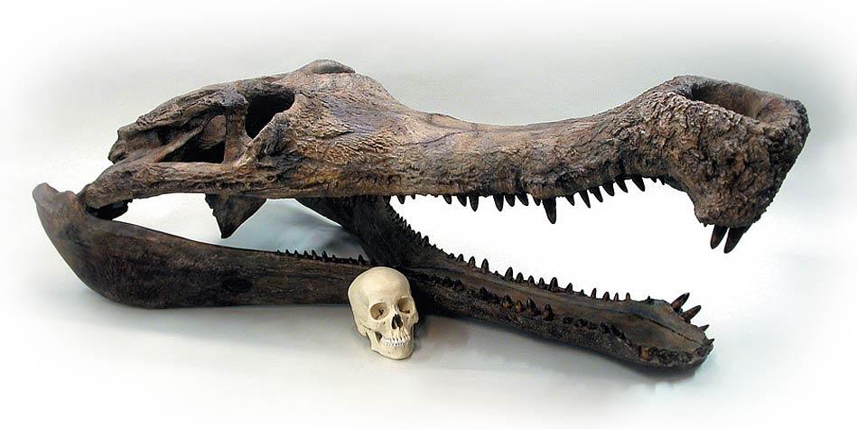 Photo of Sarkozuch (Sarcosuchus)