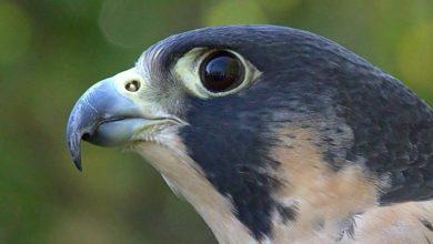 Photo of Sokół wędrowny (Falco peregrinus)