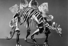 Photo of Stegozaur (Stegosaurus).