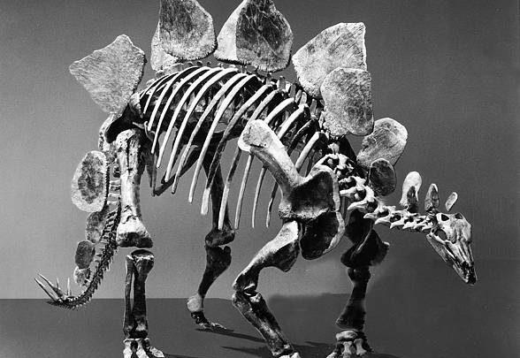 Photo of Stegozaur (Stegosaurus).