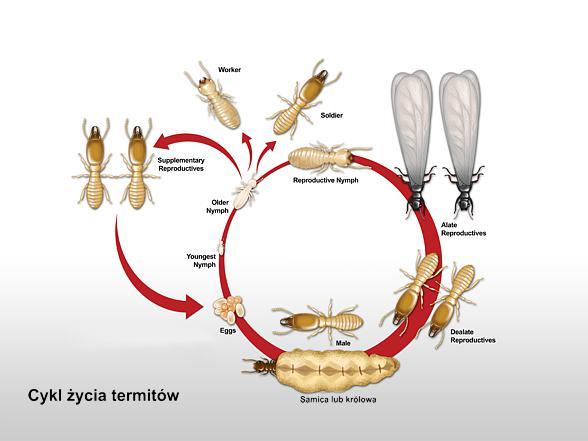 Cykl życia Termit 243 W Dinoanimals Pl Dinoanimals Pl