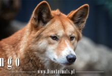 Photo of Pies Dingo (Canis lupus dingo)